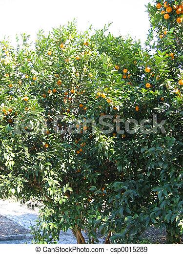 Orange tree - csp0015289