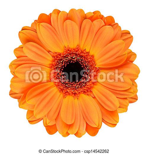 Orange, weiße blume, freigestellt, gerbera. Center., blume ...