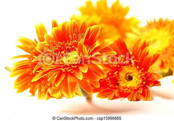 Orange, weiße blume, freigestellt, gerbera. Schöne , blume ...