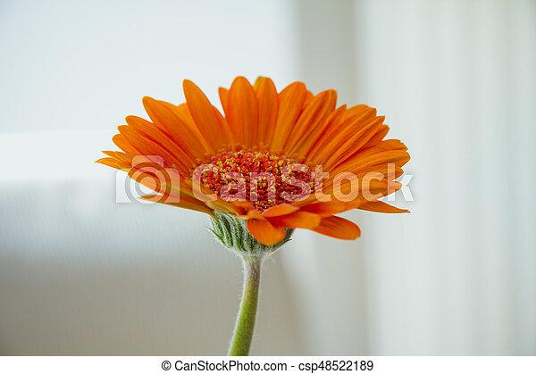 Orange, weiße blume, gerbera, hintergrund. Orange, hintergrund ...