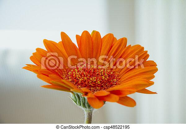 Orange, weiße blume, gerbera, hintergrund. Orange,... Stockfotos ...