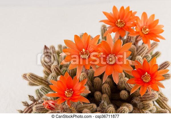 Orange, weiße blume, kaktus, hintergrund. Echte , homegrown,... Bild ...