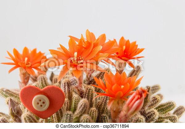 Orange, weiße blume, kaktus, hintergrund. Echte , homegrown ...
