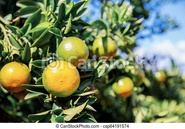Orange with the sunlight. - csp64191574
