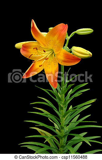 Orange Yellow Daffodil - csp11560488