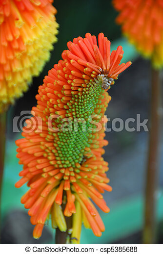 Isolated closeup of orange yellow succulent flower orange yellow succulent flower csp5385688 mightylinksfo