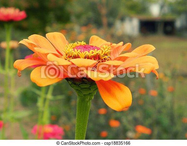 Orange Zinnia Flower Closeup - csp18835166