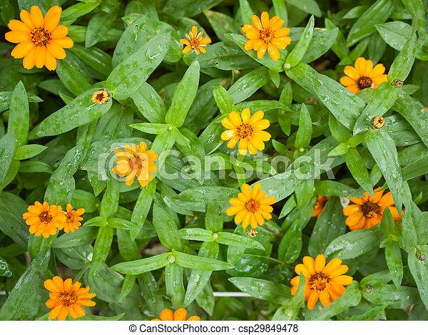 Orange zinnia flowers - csp29849478