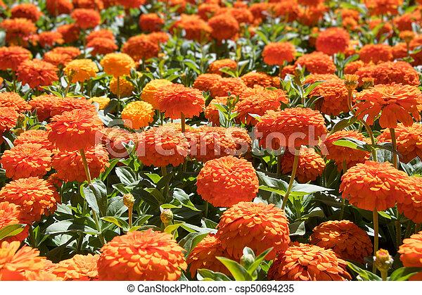 Orange Zinnia Flowers - csp50694235