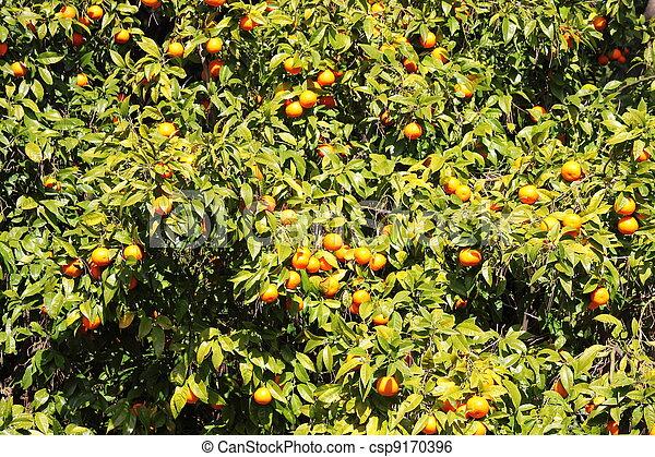 Oranges on a tree - csp9170396