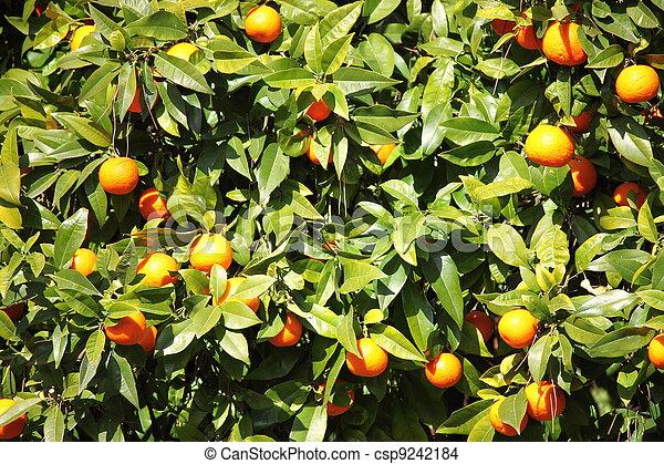 Oranges on a tree - csp9242184