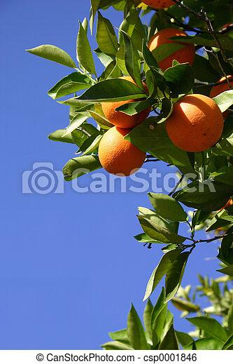 Oranges - csp0001846
