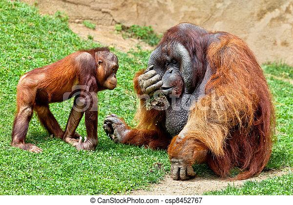 Orangutan of Borneo, Pongo Pygmaeus - csp8452767