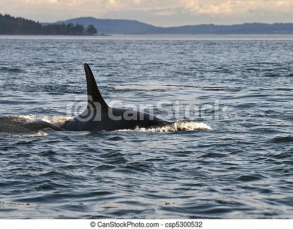 Orca Whale Dorsal Fin - csp5300532