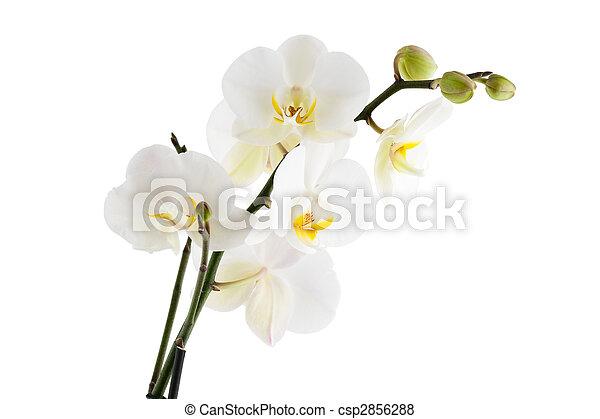 orchidée - csp2856288