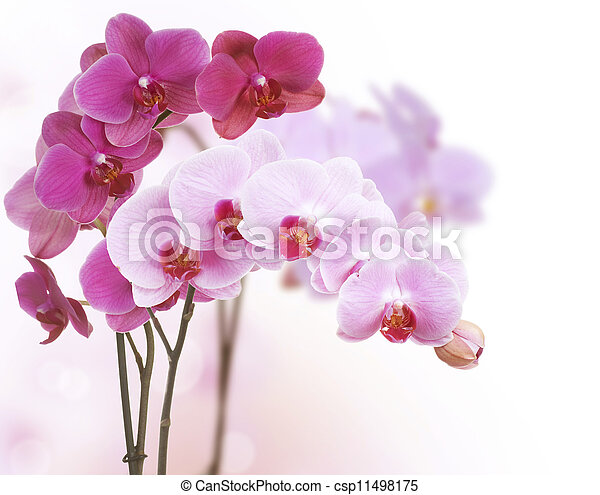 Orchid Flowers - csp11498175