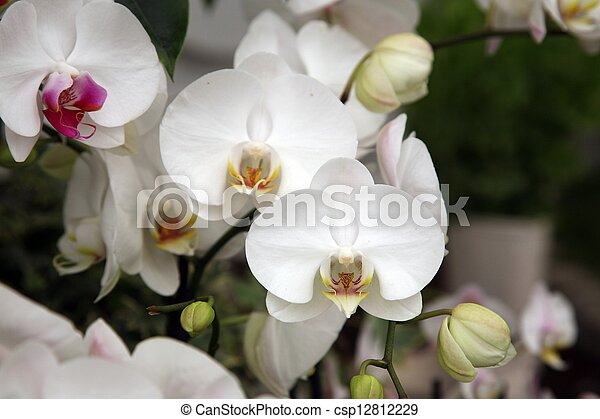 Orchid flowers - csp12812229