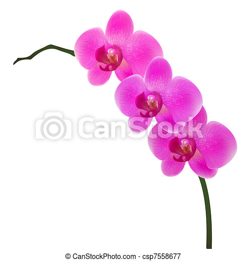 illustration of orchid isolated on white background rh canstockphoto com orchid clipart images orchard clipart