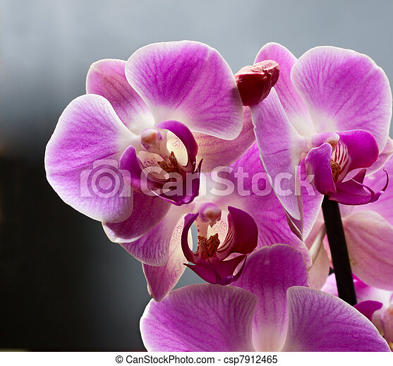 Orchid isolated on grey background - csp7912465