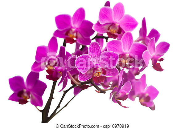 orchid isolated on white background - csp10970919