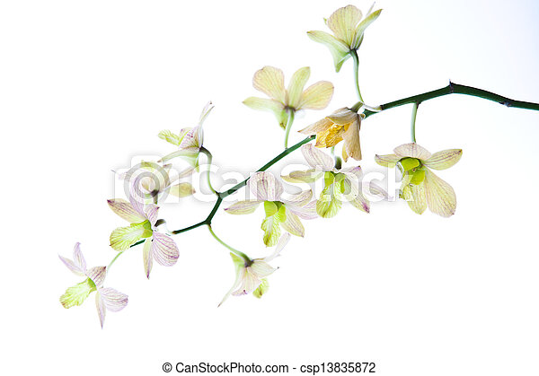 orchid isolated on white background - csp13835872