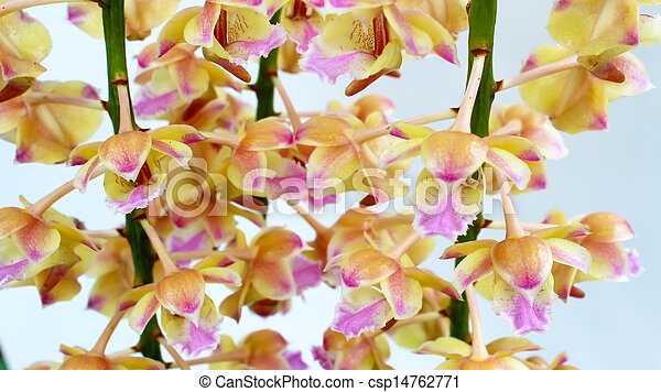 orchid isolated on white background - csp14762771