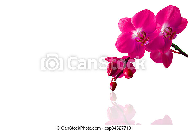 Orchid isolated on white background. - csp34527710