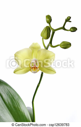 Orchid isolated on white background - csp12639783