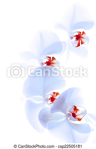 orchid isolated on white background - csp22505181