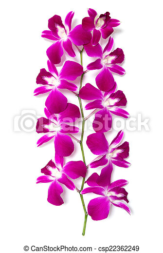 orchid isolated on white background - csp22362249