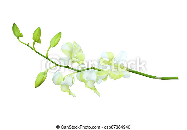 Orchid isolated on white background - csp67384940