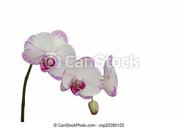 Orchid isolated on white background - csp22390103