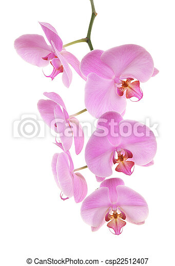 Orchid isolated on white background - csp22512407