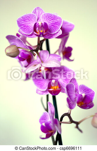 orchid lilac flowers - csp6696111