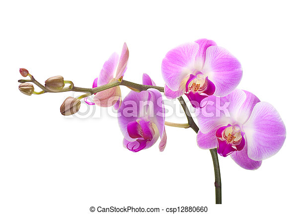 Orchid on a white background - csp12880660