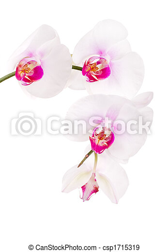 orchid on white - csp1715319