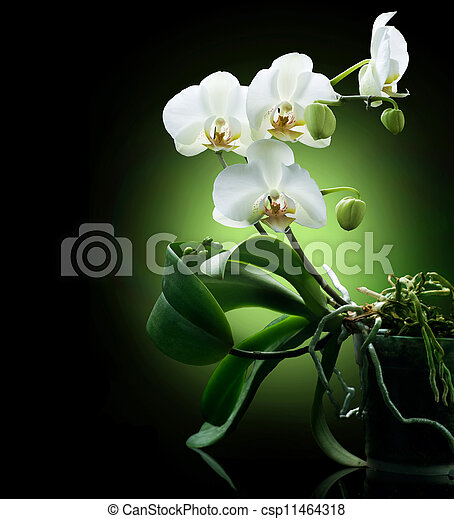 Orchid over black - csp11464318