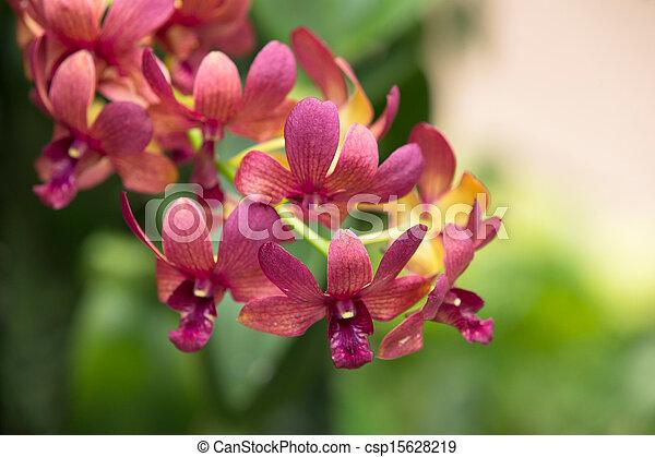 orchid - csp15628219