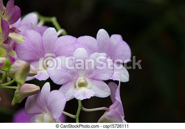 orchid - csp15726111