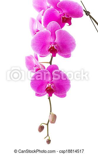 Orchid - csp18814517