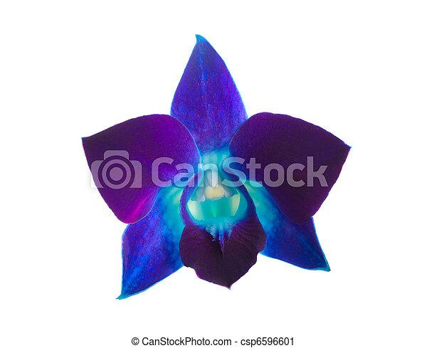 orchid - csp6596601