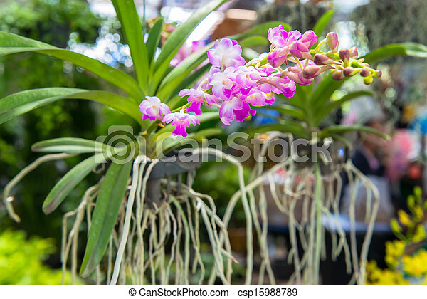 orchid - csp15988789
