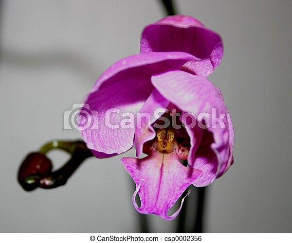 Orchid - csp0002356