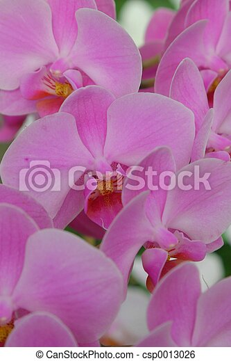 Orchid - csp0013026