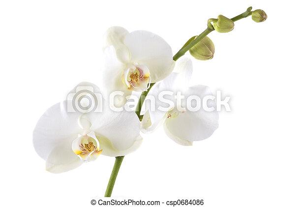 Orchid - csp0684086
