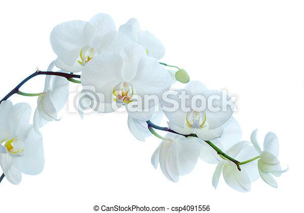 orchid  - csp4091556