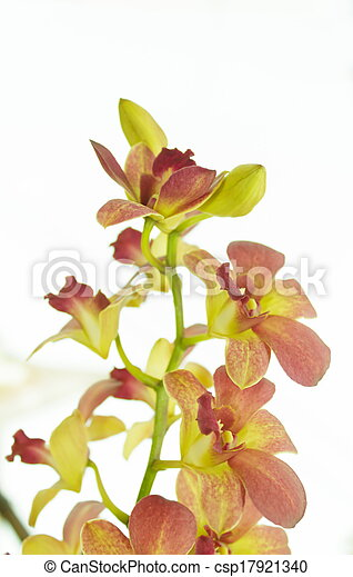 orchid - csp17921340
