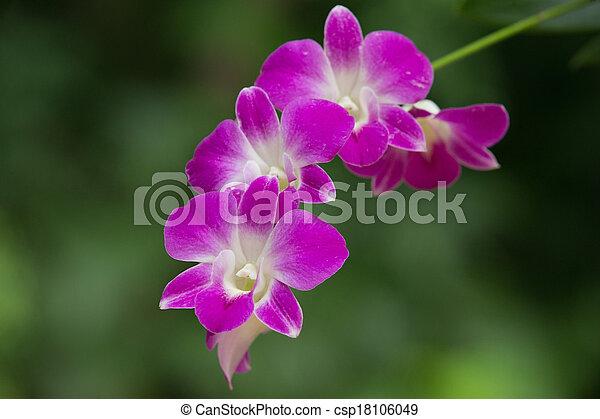 orchid - csp18106049