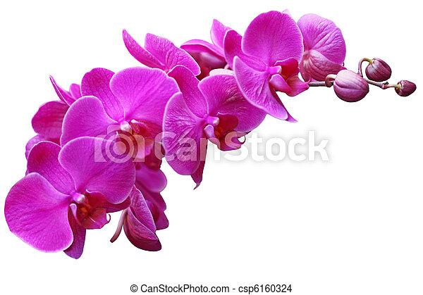 Orchid - csp6160324