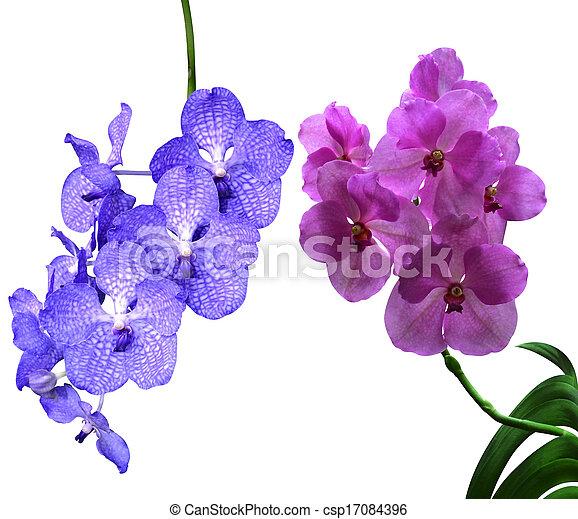 orchid - csp17084396